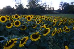 Sunflowers Cutchogue LI NY (moonman82) Tags: ny li sunflowers cutchogue