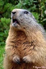 DSC_7106 (Original Loisi) Tags: marmot marmots murmeltier filzmoos murmeltiere bachlalm