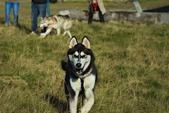 Loup (camel.arnaud) Tags: dog chien nature animal montagne automne husky minolta sony beercan siberian alpha 70 f4 slt 70210 210 a65 sibrien