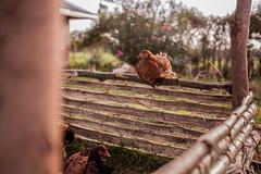 The hen hangout | Kenya (ReinierVanOorsouw) Tags: kenya health wash kenia hygiene ngo sanitation kakamega kenyai kisumu beyondborders gezondheid qunia  simavi   beyondbordersmedia beyondbordersutrecht sanitatie ngoproject