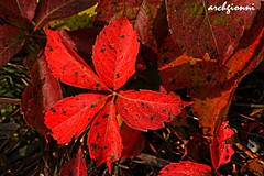 autunnale (archgionni) Tags: autumn red nature leaves foglie natura autunno rosso theunforgettablepictures