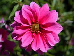 Autumn in the Garden (Eddie C3) Tags: dahlia flowers gardens centralpark botanicalgardens conservatorygarden