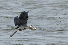 buggin' out (brichardson687) Tags: fish heron canon fishing wildlife maryland blueheron canoneos greatblueheron bif birdinflight conowingo conowingodam canon1dmarkiv