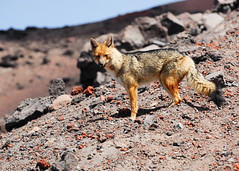 Andean Fox (Prairie_Wolf) Tags: southamerica mammal volcano ecuador cotopaxi travelphotography culpeo andeanfox lycalopexculpaeus culpeozorro rachelmackayphotography