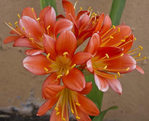 Clivia flowers_3451