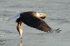 Fishing sequence at Conowingo Dam (Adam Berry Photography) Tags: nikon eagle baldeagle maryland raptor birdofprey conowingo 600mm abphoto nikond4 nikon600mm adamberryphotography