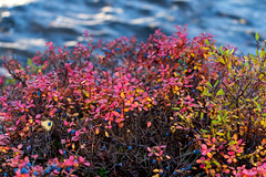 Blueberry Hill (jadzia0410) Tags: autumn red lake water leaves berry waves sweden foliage blueberry scandinavia dalarna bilberry