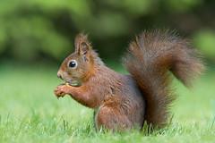 red squirrel www.affiliatemarketers.ga (lestari3renita) Tags: pictures life animal natural awesome wallpapers