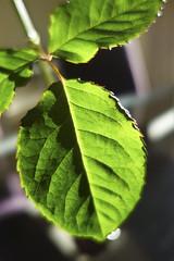 Leaf (1Nine8Four) Tags: newzealand sony auckland nz rx sonyrx sonyrx100 rx100ii sonyrx100ii