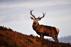 Red Deer Stag (Gavin Macrae) Tags: autumn nature mammal scotland nikon stag wildlife deer glenaffric cervuselaphus scottishwildlife highlandsofscotland glencannich scottishnature scottishhills reddeerstag reddeerrut strathglass glenstrathfarrar highlandwildlife highlandnature