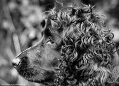 Bazil portrait (Photo Gal 2009) Tags: dog black canine blackdog worker bazil workingcocker workingcockerspaniel dogworker englishworkingcocker