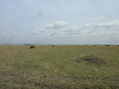 Honeymoon Trip - The Masai Mara (August 2013) (irlLordy) Tags: honeymoon trip holiday safari masaimara kenya august 2013 wildebeest