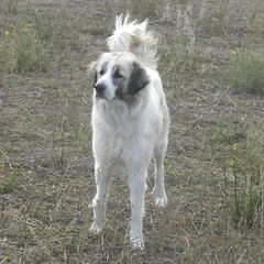 Le patou (Le pot-ager) Tags: chien mouton troupeau patou chiendeberger montagnedespyrnnes