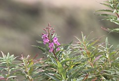 Denali NP ~ Wildflowers & Bokeh - HCS! (karma (Karen)) Tags: denalinp alaska tundrawildernesstour usparks wildflowers fireweed blossoms dof bokeh cliche hcs cmwd
