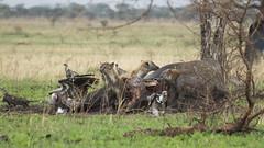 _MG_0553 (esevelez) Tags: tanzania africa serengueti serengeti animales animal animals parque nacional national park nature naturaleza hiena hyena