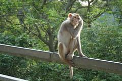 DSC01682_2 (CHris 323) Tags: 石梨貝水塘 reservoir hk 香港 hongkong monkey 馬騮 猿 サル 猴子