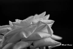 White tulip.. (mark owens2009) Tags: whitetulip white black flower whiteflower