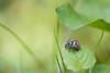 Affût couvert (Jacques GUILLE) Tags: araignée salticus saltique araignã©e