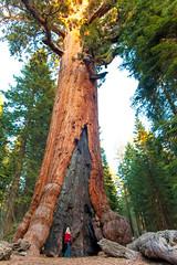 Amongst Giants (Thomas Hawk) Tags: america california kimberlyshoemaker mariposagrove nationalpark newyearseve newyearseve2011 sequoia usa unitedstates unitedstatesofamerica yosemite yosemitenationalpark giantsequoias sequoiagrove sequoias tree fav10 fav25 fav50