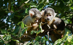 The three Stooges (Wim van Bezouw) Tags: monkey animal three leaves forrest nature jungle