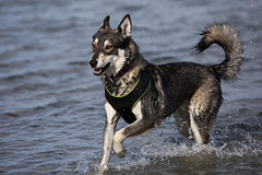 Darla Running in the Water (ddouangc) Tags: siberian husky huskies point isabel dog park dogs puppy