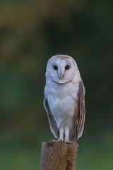 barn owl (2) (colin 1957) Tags: barnowl suffolk birdsofprey owl post fence 1001nights