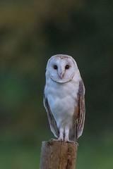 barn owl (2) (colin 1957) Tags: barnowl suffolk birdsofprey owl post fence 1001nights