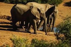 DSC03805 (Emily Hanley Photography) Tags: elephant elephants addo elephantpark nationalpark sa southafrica africa photography colour warthogs buffalo zebra waterhole rawimages raw nature naturalphotography animals animal
