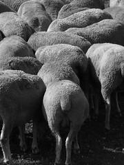 Campo Imperatore (silvia.mincarelli1) Tags: gregge abruzzo pecore sheep animal