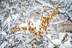 ✖'16 (mrscaramelle) Tags: canon60d canon winter snow snowdrops snowflakes leaf leaves macro bokeh november 2016 mrscaramelle helios helios40 helios402 гелиос гелиос402 гелиос40 402 manuallens manualfocus manualfocuslens manual outdoor latvia riga latvija