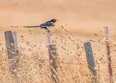 Observing (PasiKaunisto) Tags: bird birds birdphotography nature naturephotography field sunset
