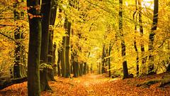 Orange Forrest (Alex Verweij) Tags: oranje orange yellow autumn herfst alexverweij canon 5d markiii people walking wandelen tree trees boom bomen hierden nunspeet blad bladeren forest