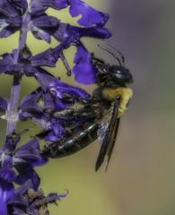 Bee_SAF3673-2 (sara97) Tags: bee flyinginsect insect missouri nature outdoors photobysaraannefinke pollinator saintlouis copyright2016saraannefinke