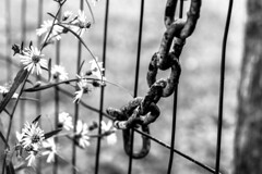 soft & rough (-gregg-) Tags: fence rusty chain flowers fall bw bokeh