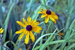 Ragged Black-eyed Susans (Fiddling Bob) Tags: wildflowers blackeyedsusan yellow film flowers zenite helios442 m42