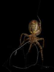 Spider eating silk from old web (Zachary Cava) Tags: spider silk arachnid zygiella orbweaver spidersilk arthropod invertebrate animalbehavior nature macro