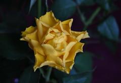 DSC_3180 (PeaTJay) Tags: nikond750 reading lowerearley berkshire macro micro closeups gardens indoors nature flora fauna plants flowers rose roses rosebuds