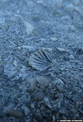 20150703_16 Scallop fossil in limestone | Hgklint, Gotland, Sweden (ratexla) Tags: ratexlasgotlandtrip2015 gotland 3jul2015 2015 canonpowershotsx50hs hgklint sweden sverige scandinavia scandinavian europe beautiful earth tellus photophotospicturepicturesimageimagesfotofotonbildbilder europaeuropean summer travel travelling traveling norden nordiccountries roadtrip journey vacation holiday semester resaresor landscape nature fossil fossils pentaptych dead corpse death dd dda djur animals animal biology zoology fossiler limestone beach rock rocks stone kalksten dden ontheroad sommar macro makro ratexla photosbyjosefinestenudd unlimitedphotos almostanything wow pectinidae scallop scallops young favorite