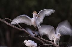 esvalot (Josep M.Toset) Tags: animalia aus aves ardeidae ardids chordata catalunya ciconiiformes fauna josepmtoset nikon d7100 esplugabous ocells