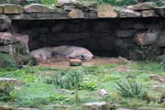 Eisbren Nissan und Nobby im Yorkshire Wildlife Park (Ulli J.) Tags: zoo grosbritannien storbritannien greatbritain grandebretagne grootbrittanni royaumeuni verenigdkoninkrijk vereinigtesknigreich unitedkingdom uk england engeland angleterre yorkshireandthehumber southyorkshire doncaster branton yorkshirewildlifepark ywp projectpolar eisbr polarbear ourspolaire isbjrn ijsbeer