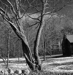 Twisted Tree (Kris_wl) Tags: trunk twisted leafless bare fall mood moody outdoors outside old blackandwhite tree