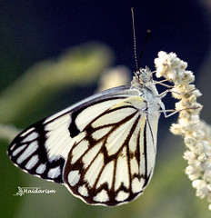 White Butterfly (haidarism (Ahmed Alhaidari)) Tags: insect bug animal white butterfly outdoor nature bokeh depthoffield sonya65 macro macrophotography ngc