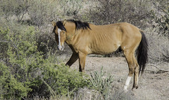 HorsesSaltRiver2-3174 (hubertstevecole) Tags: arizona hubertstevecole mustangs saltriver wildhorses wildlife tontonationalforest