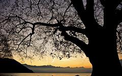 Lumire de l'aube (Diegojack) Tags: paysages lavaux cully arbres platane ciel lever lman