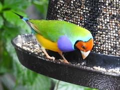 Gouldian Finch, Chloebia gouldii (1) (Herman Giethoorn) Tags: gouldianfinch finch songbird bird animal