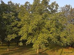 Noix de Grenoble: Nussbaumplantage in vollem Ertrag (HITSCHKO) Tags: noixdegrenoble echtewalnuss juglansregia laubbaum walnussgewchse juglandaceae walnuss walnussbaum baumnuss nutzpflanze nutzholz isre drme savoie france frankreich
