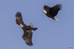 Bald Eagles (shimmer5641) Tags: haliaeetusleucocephalus baldeagle baldeagles raptor birdofprey birdsofbritishcolumbia birdsofnorthamerica