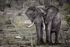 Elephant (AndreDiener) Tags: elephant krugernationalpark bigfive wildanimal animal