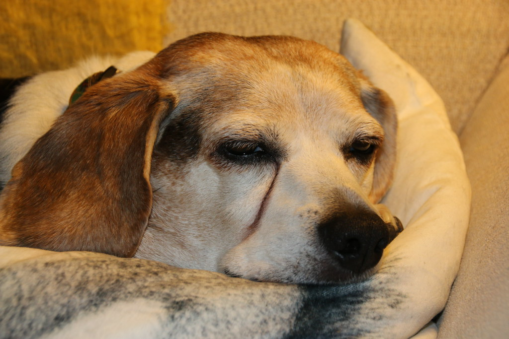 The World S Best Photos Of Beagle And Sleepy Flickr Hive
