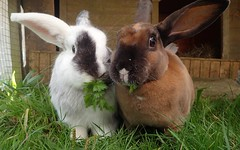 Two buns looking for homes (rjmiller1807) Tags: rabbits rabbit bunny bunnies buns kaninchen cute lookingforahome adoptdontshop adopt animal animaladoption oxfordshire harwell rspca rspcaoxfordshire pawsnclaws 2016 september